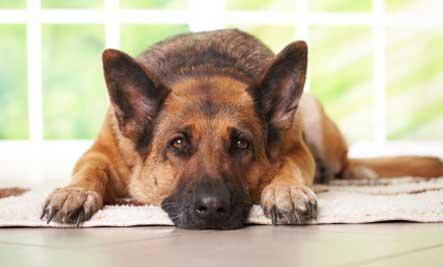 vieux chien berger allemand